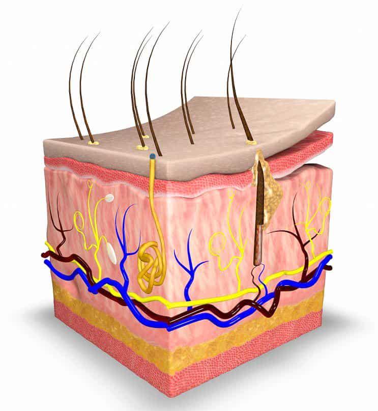 Da và cấu tạo sinh lý của da